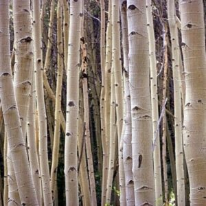 High Detailed Image Of Thin Tree Trunks NAT100 Art Print A4 A3 A2 A1