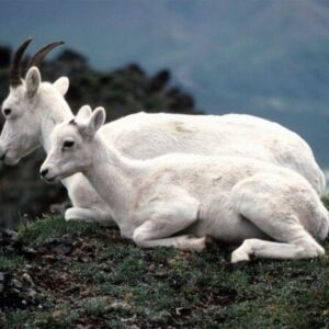 2 Wild Mountain Goats WLD057 Reproduction Art Print A4 A3 A2 A1